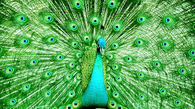 красивый павлин - peacock стоковые видео и кадры b-roll