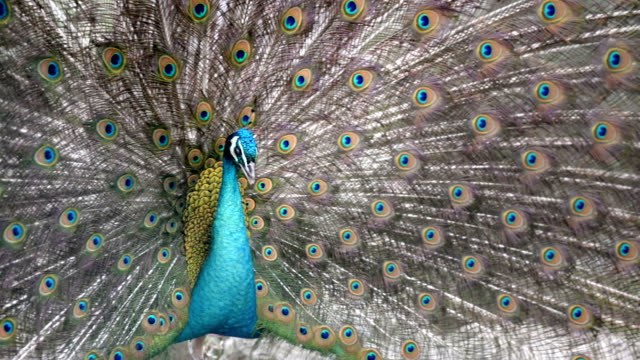 красивый павлин - уход за поверхностью тела у животных стоковые видео и кадры b-roll