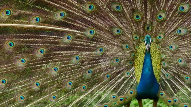красивые павлин. - peacock стоковые видео и кадры b-roll