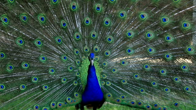 beautiful peacock - peacock стоковые видео и кадры b-roll