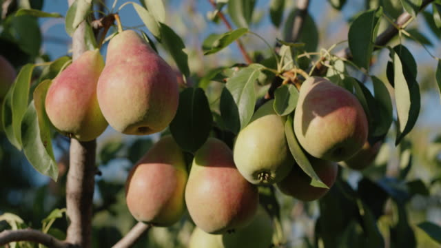 Beautiful pears ripen on a branch on a summer day