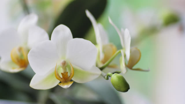 Beautiful pestle of orchid. A beautiful white flower is very close. House flora, blooming orchid close-up. Beautiful plant at home. Home flowers and flower care in extreme close-up view