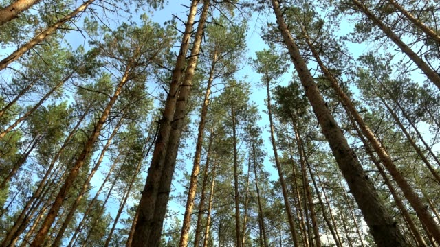 Beautiful pine forest at sunny day, panoramic shoot.