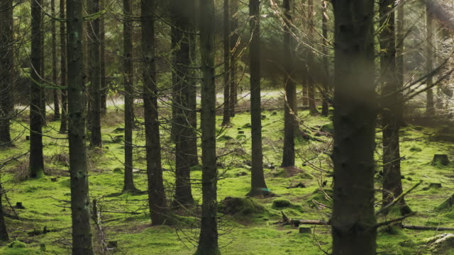 A beautiful pine tree forest in Sweden on a sunny autumn day A pine tree forest full of beautiful green moss in a Scandinavian forest. pine tree stock videos & royalty-free footage