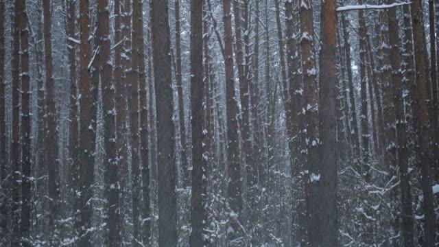 schöner pinien-winterwald und fallender schnee. - kiefernwäldchen stock-videos und b-roll-filmmaterial