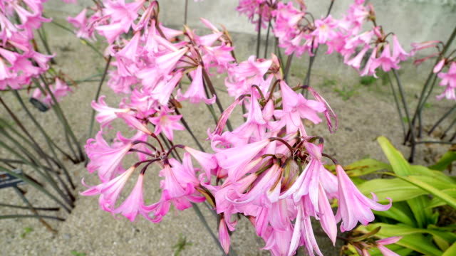 en vacker rosa amaryllis blomma i trädgården - amaryllis bildbanksvideor och videomaterial från bakom kulisserna