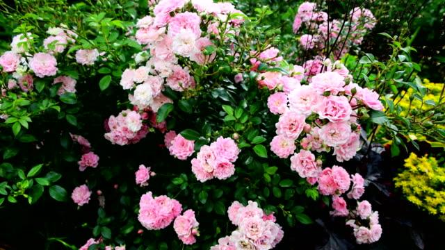 Beautiful pink bush roses in a summer garden.