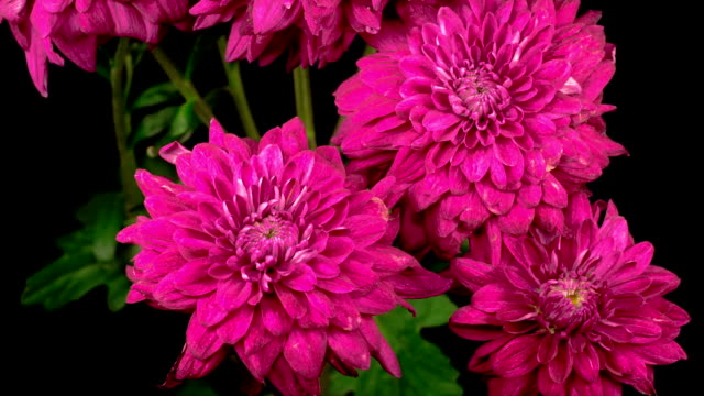 Beautiful Pink Chrysanthemum Flower Opening video