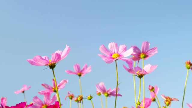 Beautiful pink cosmos flower in garden field are blooming beautifully in the morning light. 4K Resolution