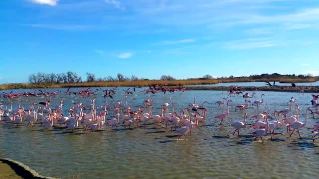 Beautiful pink flamingos walking in shallow water, wild nature, birdwatching video