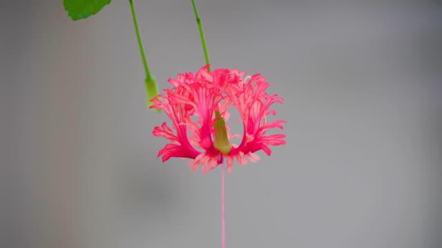 a beautiful pink flower of hibiscus schizopetalus - японский фонарь стоковые видео и кадры b-roll