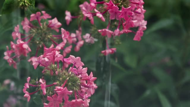 Beautiful pink flowers with water drops in the garden. Phlox in the shower rain, close up, dynamic scene, toned video. video
