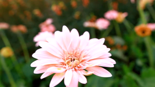Beautiful pink gerbera flower blooming in garden. video