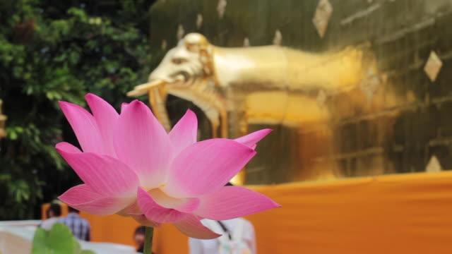 schöne rosa lotus blume blüte im tempel - pagode stock-videos und b-roll-filmmaterial