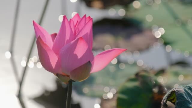 vídeos de stock, filmes e b-roll de flor de lótus rosa linda - lotus