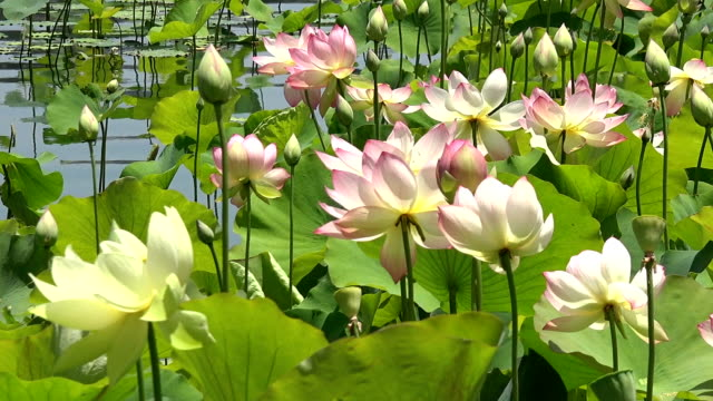 Beautiful pink lotus flowers in a lily pond