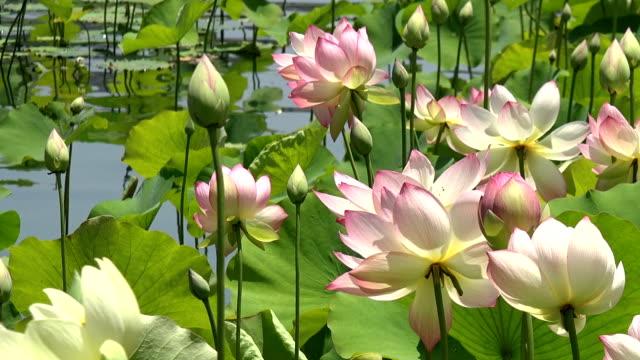 vídeos y material grabado en eventos de stock de hermosas flores de loto rosa en un estanque - charca