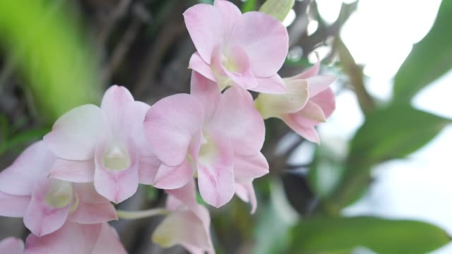 Beautiful  pink orchid flower with the wind blowing