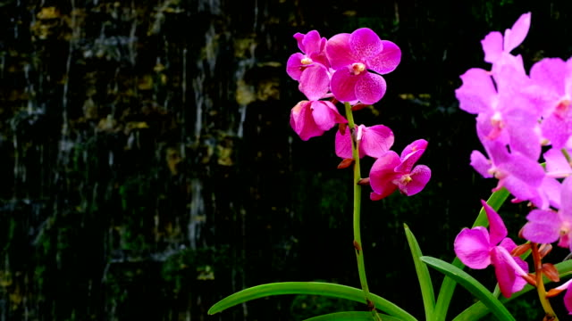 Beautiful pink orchid flower with waterfall