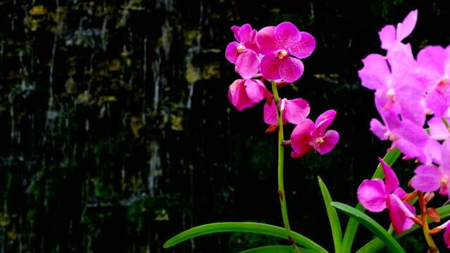 schöne rosa orchidee blume mit wasserfall - orchidee stock-videos und b-roll-filmmaterial