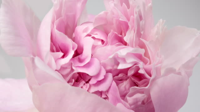 beautiful pink peony background. blooming peony flower open, time lapse, close-up. wedding backdrop, valentine's day concept. 4k uhd video timelapse - fiori video stock e b–roll