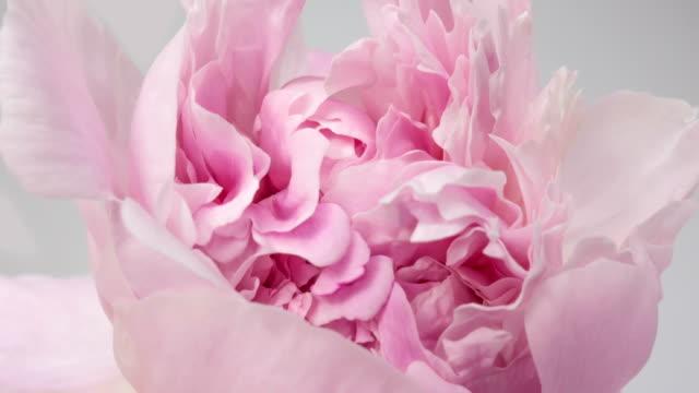 vídeos y material grabado en eventos de stock de hermoso fondo de peonía rosa. flor de peonía en flor abierta, lapso de tiempo, primer plano. telón de fondo de la boda, concepto del día de san valentín. timelapse de vídeo 4k uhd - florecer