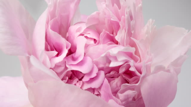Beautiful pink Peony background. Blooming peony flower open, time lapse, close-up. Wedding backdrop, Valentine's Day concept. 4K UHD video timelapse
