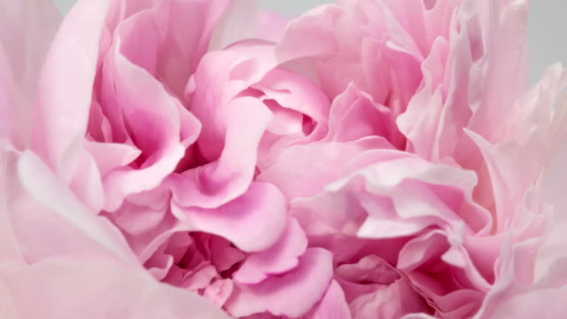 beautiful pink peony background. blooming peony flower outdoor, time lapse, closeup. macro - fiori video stock e b–roll