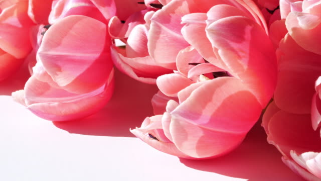 beautiful pink peony flower background - vivid 4k video stock videos & royalty-free footage