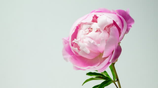 Beautiful pink peony isolated. video