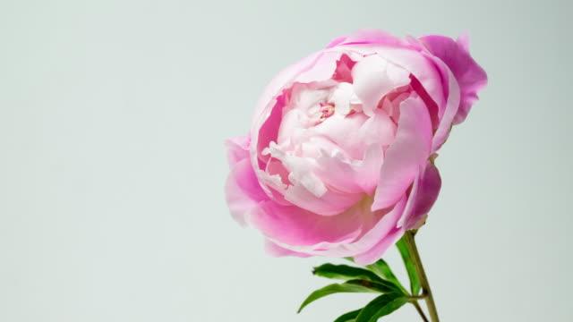 vídeos y material grabado en eventos de stock de hermosa rosa peonía aislada. - florecer