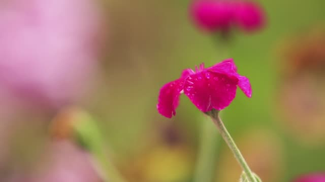 Beautiful pink red flowers with water drops in the garden. Matthiola in the rain, close up, dynamic scene, toned video. video