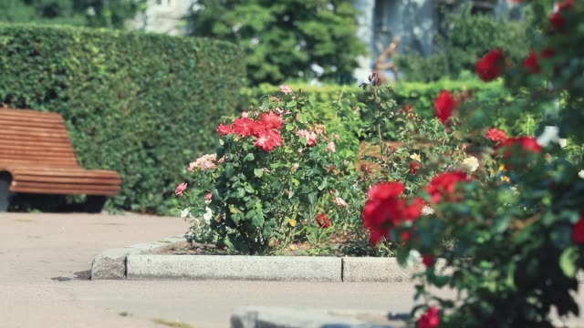 Beautiful pink red roses in the city square. Sunny summer day, light breeze, dynamic scene, toned video, 50fps. video