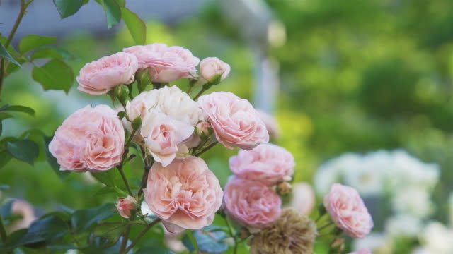 vidéos et rushes de belle rose rose dans le jardin de fleur. - rose