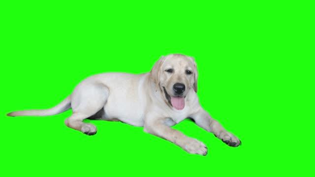 beautiful portrait of a labrador puppy on a green screen. - молодое животное стоковые видео и кадры b-roll