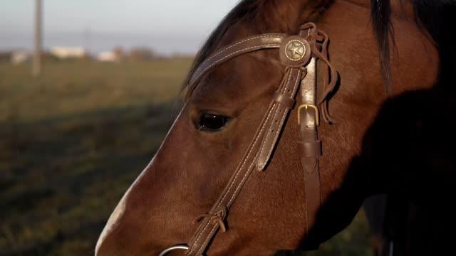 schöne kräftige dunkle braune pferd weiden auf riesigen wiese feld am morgen - schnauze stock-videos und b-roll-filmmaterial