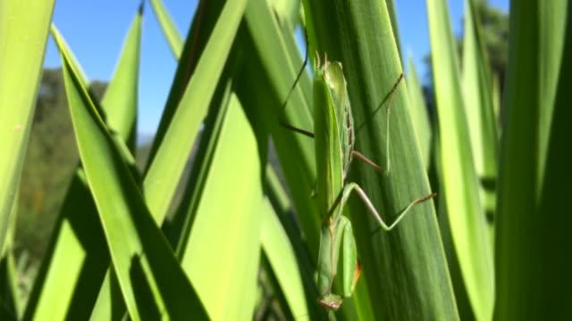 beautiful praying mantis - kamuflaż filmów i materiałów b-roll