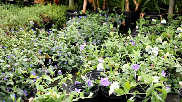 Beautiful purple blooms in garden center Many plants with purple blooms flourish in a garden center or plant nursery. plant nursery stock videos & royalty-free footage