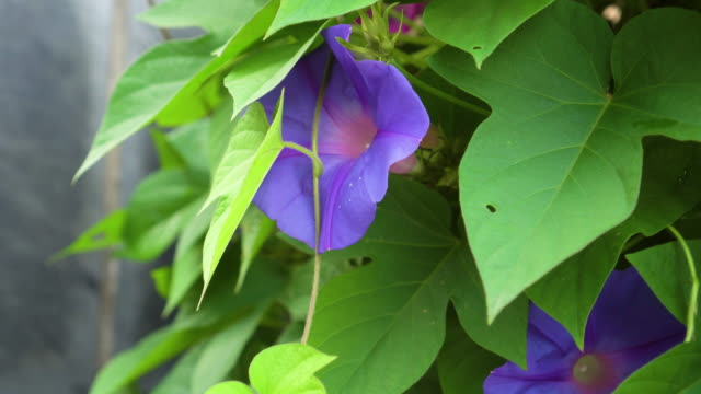 Beautiful purple flower with green leaves.