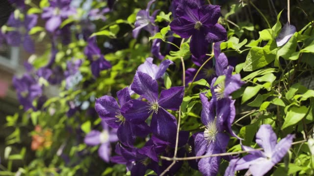 stockvideo's en b-roll-footage met mooie lichtpaarse bloemen in de tuin - plantdeel