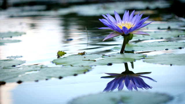 vídeos de stock e filmes b-roll de beautiful purple lotus , water lily flower in pond - violeta flor