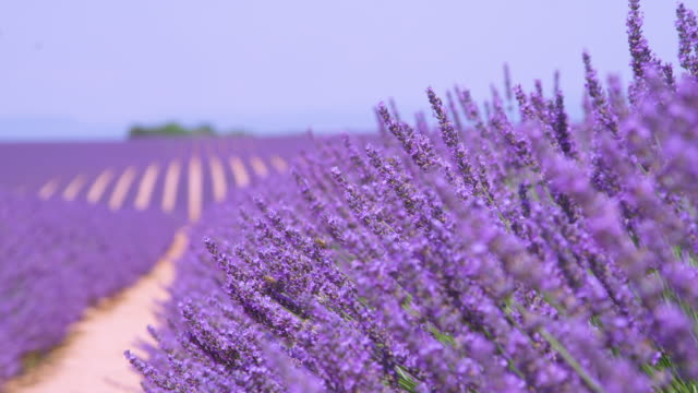 SLOW MOTION: Beautiful purple stalks of lavender gently move in the summer wind.
