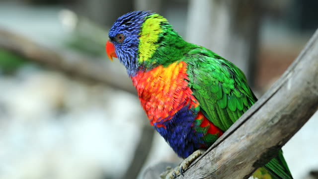 Beautiful Rainbow Lorikeet Perched On A Tree Branch And Flying Away video
