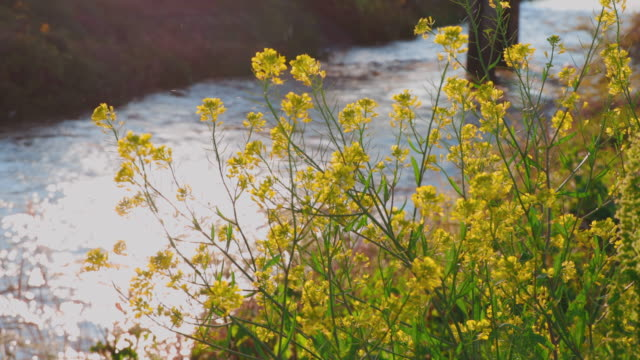 Beautiful rape blossoms blooming on the river