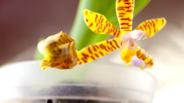 schöne seltene orchidee im topf auf neutralem hintergrund - orchidee stock-videos und b-roll-filmmaterial