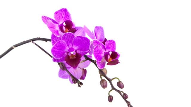 schöne seltene orchidee im topf auf weißem hintergrund - orchidee stock-videos und b-roll-filmmaterial