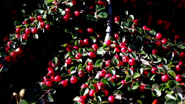 beautiful red berries on bush video