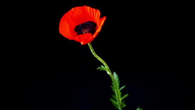 vídeos y material grabado en eventos de stock de hermosa flor de amapola de flores rojas aislada en negro - amapola planta