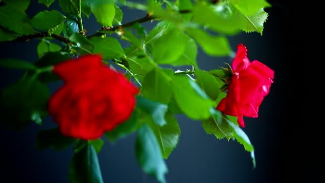 美麗的紅色綻放的玫瑰 - thank you background 個影片檔及 b 捲影像
