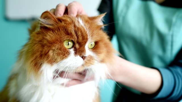 vacker röd katt i en veterinärklinik - veterinär bildbanksvideor och videomaterial från bakom kulisserna